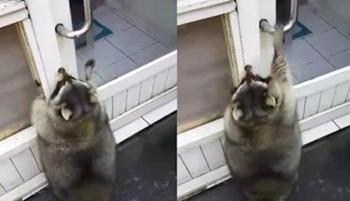 Con gấu béo cố nhảy lên để mở cửa