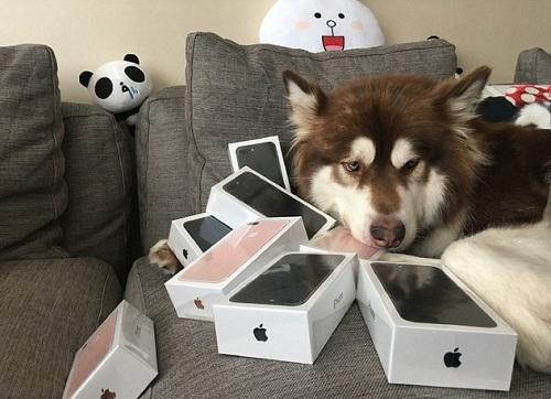 Khả Khả, con chó cái là thú cưng của Vương Tư Thông, bên 7 chiếc iPhone 7.