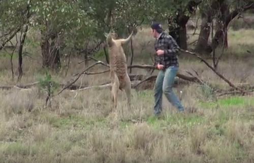 Anh chàng nổi tiếng khi đấm kanguroo để cứu chó cưng