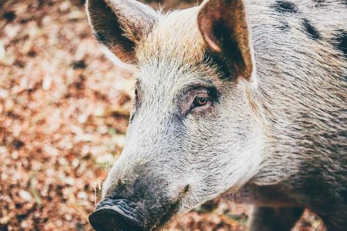 Con lợn nhỏ này đã được đưa ra thị trường sau khi xác minh bởi blockchain.