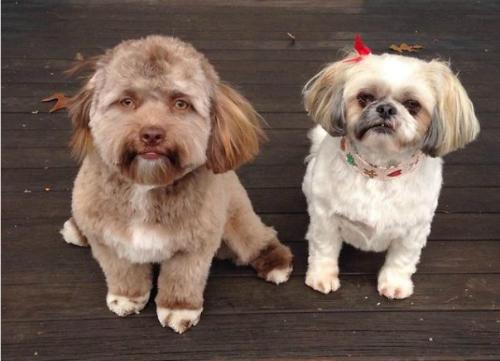 Yogi chụp ảnh cùng chị của mình, một cô chó Shih-Tzu 8 tuổi.