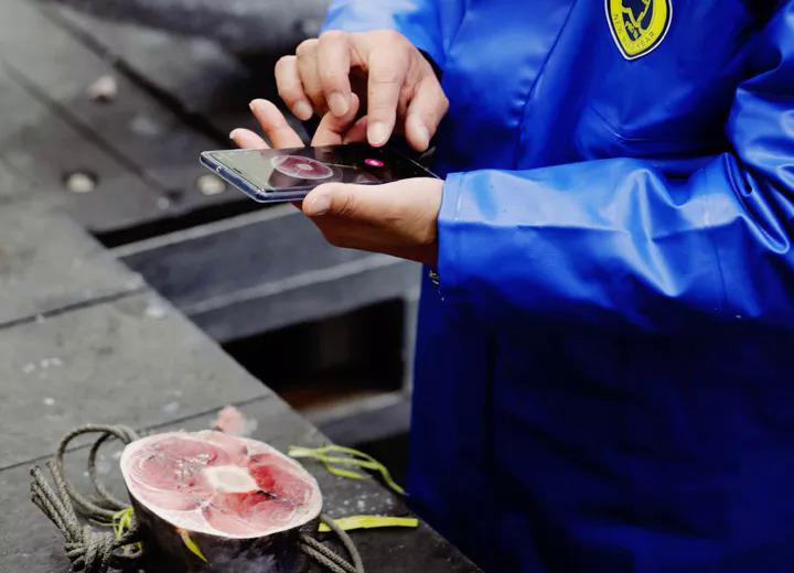 Một chuyên gia đang sử dụng Tuna Scope để đánh giá chất lượng cá ngừ. Ảnh: Dentsu.