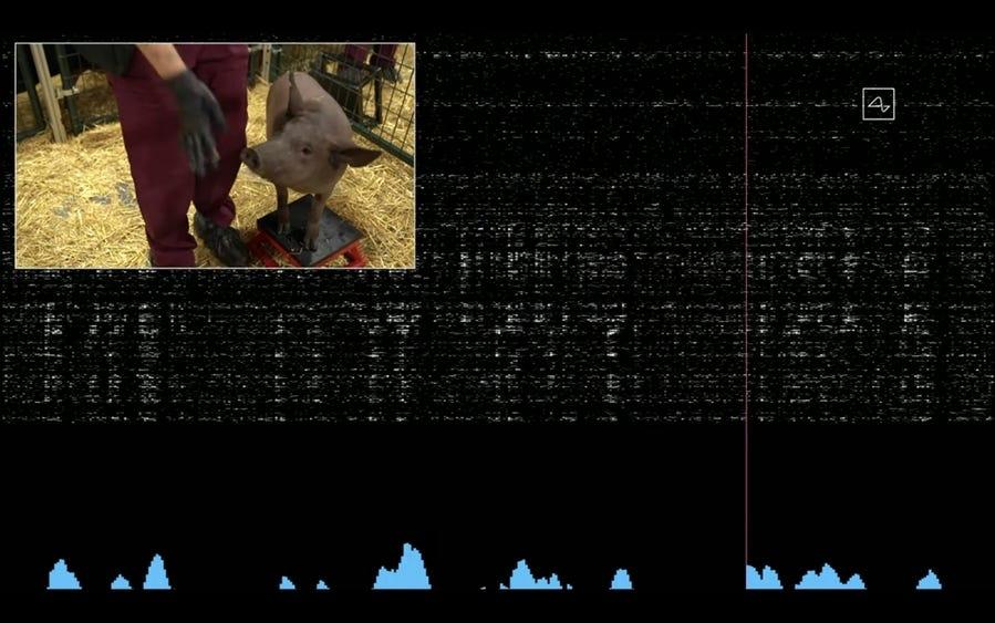 Sóng não của lợn được hệ thống của Neuralink ghi lại. Ảnh: Neuralink.